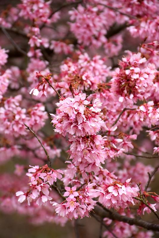 Okame Flowering Cherry Prunus Okame In San Antonio Texas Tx At Rainbow Gardens