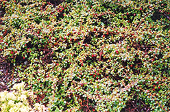 Streib's Findling Cotoneaster (Cotoneaster dammeri 'Streib's Findling') at Rainbow Gardens