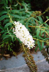 Nanho White Butterfly Bush (Buddleia davidii 'Nanho Alba') at Rainbow Gardens