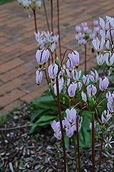 Shooting Star (Dodecatheon meadia) at Rainbow Gardens