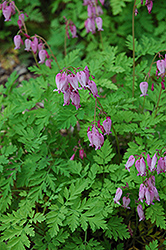 Bleeding Heart (Dicentra eximia) at Rainbow Gardens