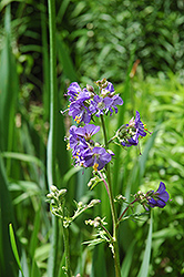 Common Jacob's Ladder (Polemonium caeruleum) at Rainbow Gardens