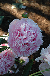 Shirley Temple Peony (Paeonia 'Shirley Temple') at Rainbow Gardens