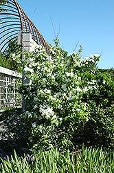 Natchez Mockorange (Philadelphus x virginalis 'Natchez') at Rainbow Gardens