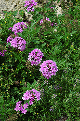 Rose Vervain (Verbena canadensis) at Rainbow Gardens