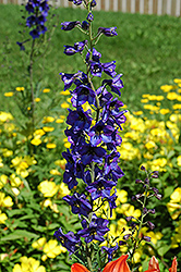 Black Knight Larkspur (Delphinium 'Black Knight') at Rainbow Gardens