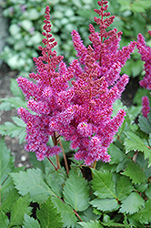 Visions Astilbe (Astilbe chinensis 'Visions') at Rainbow Gardens