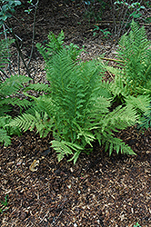 Lady Fern (Athyrium filix-femina) at Rainbow Gardens