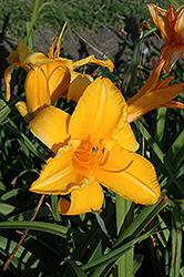 Olympic Gold Daylily (Hemerocallis 'Olympic Gold') at Rainbow Gardens