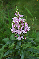 Obedient Plant (Physostegia virginiana) at Rainbow Gardens