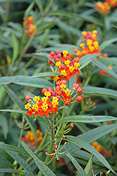Red Butterfly Milkweed (Asclepias curassavica 'Red Butterfly') at Rainbow Gardens