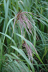 Maiden Grass (Miscanthus sinensis) at Rainbow Gardens