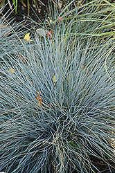 Blue Fescue (Festuca glauca) at Rainbow Gardens