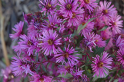 Woods Pink Aster (Aster 'Woods Pink') at Rainbow Gardens