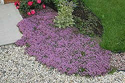 Red Creeping Thyme (Thymus praecox 'Coccineus') at Rainbow Gardens