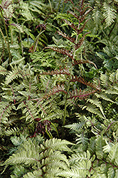 Japanese Painted Fern (Athyrium nipponicum 'Metallicum') at Rainbow Gardens