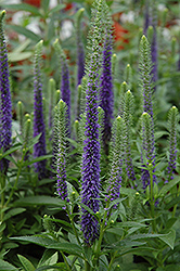 Royal Candles Speedwell (Veronica spicata 'Royal Candles') at Rainbow Gardens