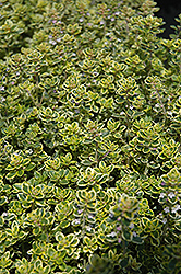 Lemon Thyme (Thymus x citriodorus) at Rainbow Gardens