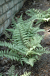 Ghost Fern (Athyrium 'Ghost') at Rainbow Gardens