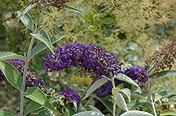 Adonis Blue™ Butterfly Bush (Buddleia davidii 'Adokeep') at Rainbow Gardens