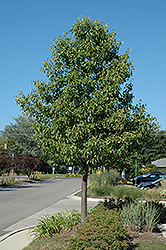 Aristocrat Ornamental Pear (Pyrus calleryana 'Aristocrat') at Rainbow Gardens