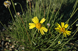 Plains Hymenoxys (Hymenoxys scaposa) at Rainbow Gardens