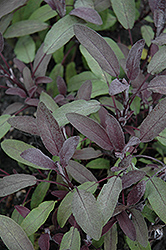 Purple Sage (Salvia officinalis 'Purpurascens') at Rainbow Gardens