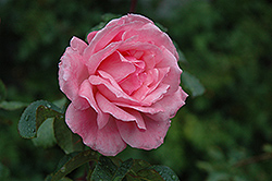 Queen Elizabeth Rose (Rosa 'Queen Elizabeth') at Rainbow Gardens