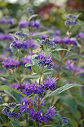 Dark Knight Caryopteris (Caryopteris x clandonensis 'Dark Knight') at Rainbow Gardens