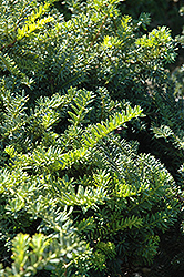 Emerald Spreader Yew (Taxus cuspidata 'Emerald Spreader') at Rainbow Gardens