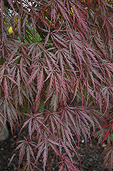 Tamukeyama Japanese Maple (Acer palmatum 'Tamukeyama') at Rainbow Gardens