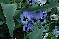 Matrix Blue Frost Pansy (Viola 'Matrix Blue Frost') at Rainbow Gardens