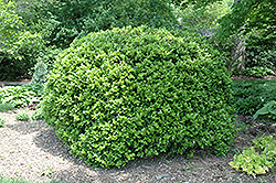 Japanese Boxwood (Buxus microphylla 'var. japonica') at Rainbow Gardens