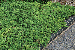 Green Mound Dwarf Japanese Juniper (Juniperus procumbens 'Green Mound') at Rainbow Gardens