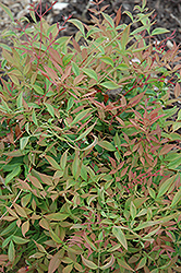 Sienna Sunrise Nandina (Nandina domestica 'Sienna Sunrise') at Rainbow Gardens