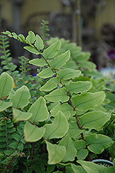 Japanese Holly Fern (Cyrtomium falcatum) at Rainbow Gardens