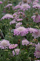 Pink Mist Pincushion Flower (Scabiosa 'Pink Mist') at Rainbow Gardens