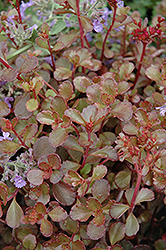 Bronze Carpet Stonecrop (Sedum spurium 'Bronze Carpet') at Rainbow Gardens