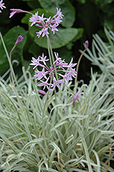 Tricolor Variegated Society Garlic (Tulbaghia violacea 'Tricolor') at Rainbow Gardens