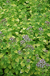 Golden Oregano (Origanum vulgare 'Aureum') at Rainbow Gardens