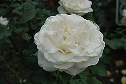 French Lace Rose (Rosa 'French Lace') at Rainbow Gardens