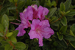 Encore® Autumn Royalty™ Azalea (Rhododendron 'Conlec') at Rainbow Gardens
