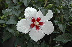 Lil' Kim® Rose of Sharon (Hibiscus syriacus 'Antong Two') at Rainbow Gardens