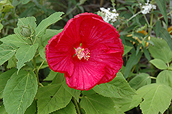 Disco Belle Rosy Red Hibiscus (Hibiscus moscheutos 'Disco Belle Rosy Red') at Rainbow Gardens