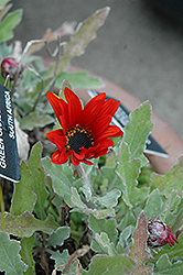 Red Torch African Daisy (Arctotis 'Red Torch') at Rainbow Gardens