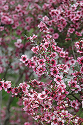 Helene Strybing Tea-Tree (Leptospermum scoparium 'Helene Strybing') at Rainbow Gardens