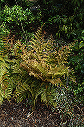 Autumn Fern (Dryopteris erythrosora) at Rainbow Gardens