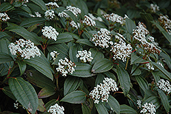 David Viburnum (Viburnum davidii) at Rainbow Gardens