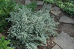 Japanese Painted Fern (Athyrium goeringianum) at Rainbow Gardens