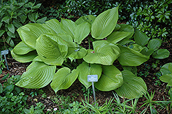 Sum and Substance Hosta (Hosta 'Sum and Substance') at Rainbow Gardens
